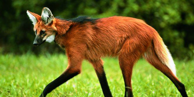 Reintegração de um Lobo Guará ao seu habitat natural